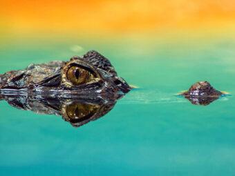Toppen på krokodils huvud, med ögat synligt, sticker upp ur stilla grönblank vattenyta.