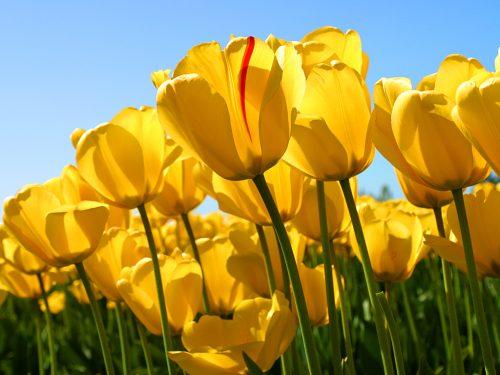 bild av gula tulpaner